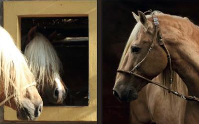 Entre Huellas y arenas: El caballo de paso peruano